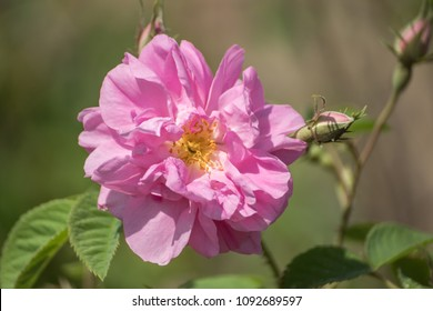 Pink Kazanlak Damascena trigintipetala rose, oil-bearing flowering shrub, the famous fragrance of Bulgarian Rose Oil distillated for perfumery. Bulgaria, the Valley of Roses. Traditional aroma culture