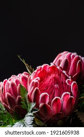 Pink king protea flower in bloom with many petals close up still isolated on a black background and decorated with green leaves