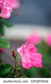 pink knock out rose and bud - portrait