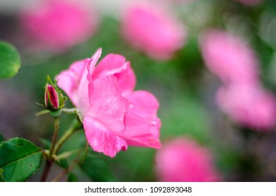 pink knock out rose and bud - landscape