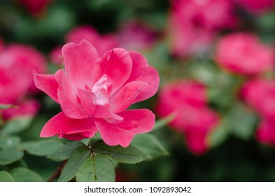 pink knock out rose - landscape