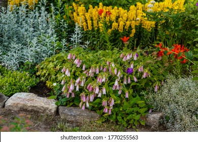 Pink Korean Bellflower (or Korean-Glockenblume) in garden. Campanula Takesimana (Campanula Punctata).