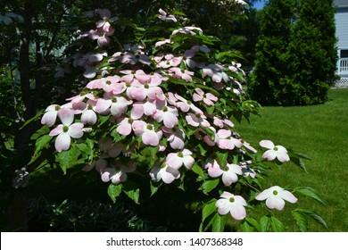 Pink Kousa Dogwood Tree in Bloom