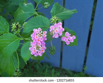 Pink Lantana wildflowers against a blue fence