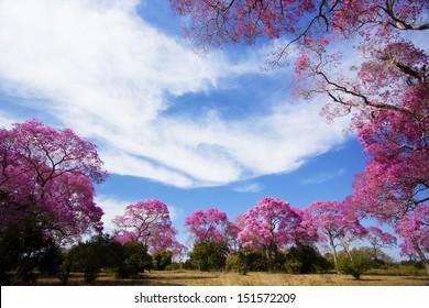 Pink Lapacho circle, Ipe roxo or rosa. Transpantaneira road, Pantanal Matogrossense. POCONE, MATO GROSSO, BRAZIL.