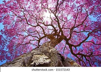 Pink lapacho tree at sun´s backlight. Transpantaneira road, Pantanal Matogrossense. POCONE, MATO GROSSO, BRAZIL.