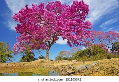 Pink lapacho and Yacare caiman at  pantanal matogrossense. POCONE. MATO GROSSO, BRAZIL.