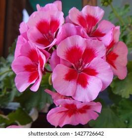 Pink and light pink Geranium flowers