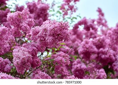 Pink Lilac bush on blurred blue sunny sky, lilac background. Branches with spring lilac flowers.  Springtime. In the garden.