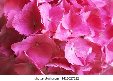 Pink, lilac, purple hydrangea flower (Hydrangea macrophylla) or hortensia flower blooming in a park and garden. Beautiful bush of hortensia flowers. Flat lay, top view, close-up.