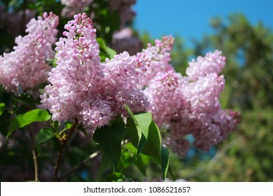Pink Lilac tree blooming in the spring