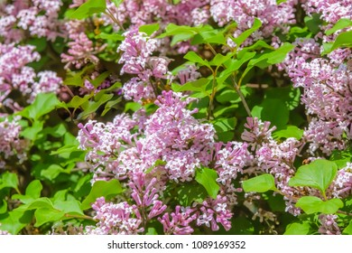 Pink lilac tree in spring blooming from Kentucky