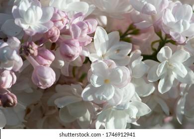 "Pink lilac variety ""Krasavitsa Moskvy"" flowering in a garden."