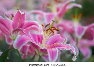 Pink lilies, lilies that bloom in the morning light