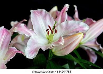 Pink lilly flowers photographed against a black background.