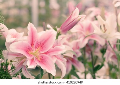 Pink lilly in the garden,Lily joop flowers,Lilium oriental joop.