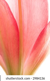 Pink lilly petals