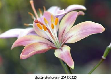 Pink lily bud close up