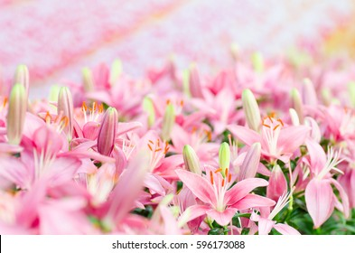 Pink lily flower blossom in a garden, spring season