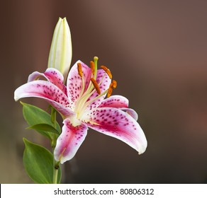 Pink Lily Flower and Bud Closeup