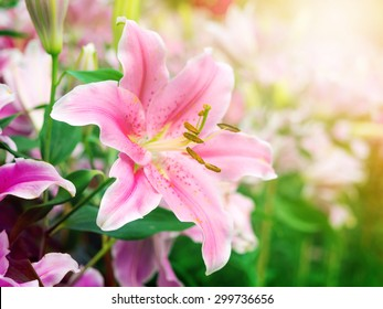 pink lily flower on the nature, outdoor garden, light leak added