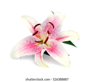 Pink lily flower over white