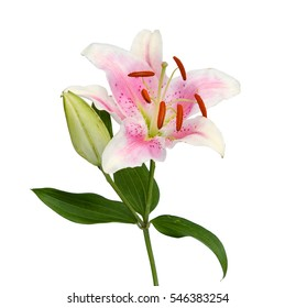 Stargazer lily images stock photos vectors shutterstock pink lily flower over white mightylinksfo