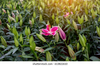 Pink lily flower with shallow depth of field.