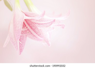 pink lily flower soft background