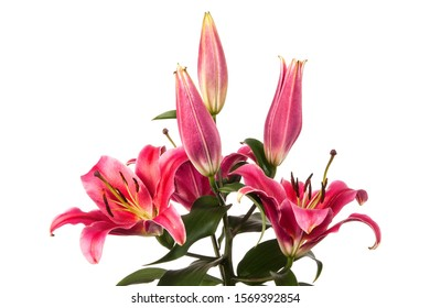 Pink lily flowers isolated over white background
