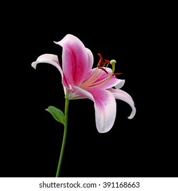 Pink lily isolated on a black background
