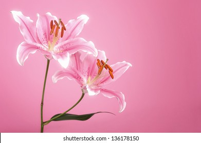 Pink lily in pink light spot background.