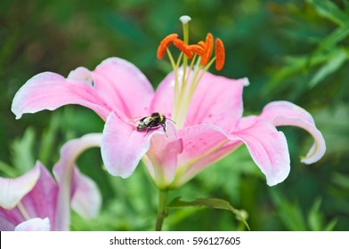 Pink Lily (Lilium) and bumblebee (Bombus) after the rain
