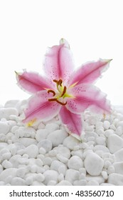 pink lily on white stones background