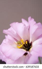 Pink Lisianthus flower close up
