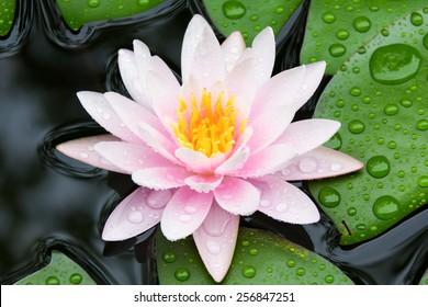 Pink lotus after raining