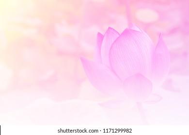 Pink lotus background image select focus