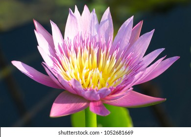The pink lotus is in a beautiful natural pond.