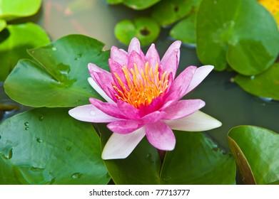 Pink Lotus Blooming