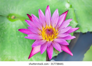 pink lotus blooming on park
