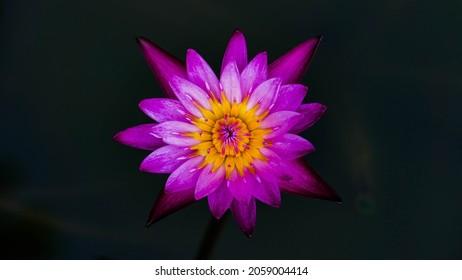 Pink lotus blooming at pond in morning.