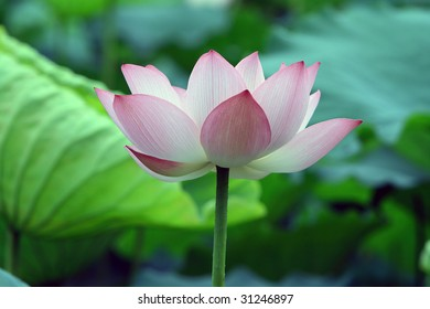 a pink lotus blossom against green foliage