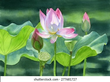 Pink Lotus Blossom, buds and seed pods.  Watercolor illustration of a tropical lotus blossom with buds and seed pods with a dark background