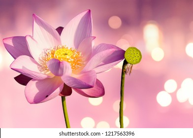 Pink lotus blossoming in the morning beautifully in nature.