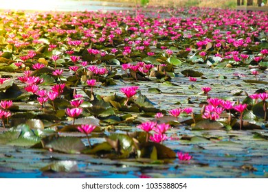 The pink lotus blossoms in the lake to the sunlight illuminated yellow.