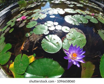Pink Lotus blossoms or water lily flowers blooming on pond. Background concept.