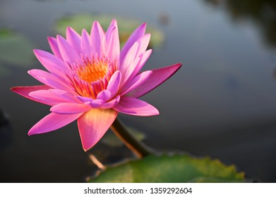 Pink lotus in the evening garden