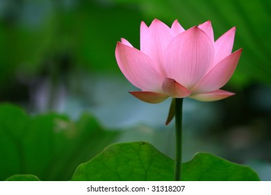 a pink lotus flower against green foliage