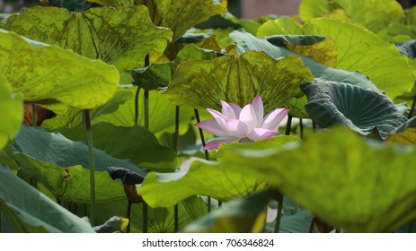 Lotus flower meaning in buddhism images stock photos vectors pink lotus flower amid the green leaves mightylinksfo
