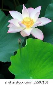 a pink lotus flower among green foliage